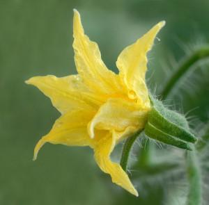 800px-Solanum_lycopersicum_-_Tomato_flower_(aka)